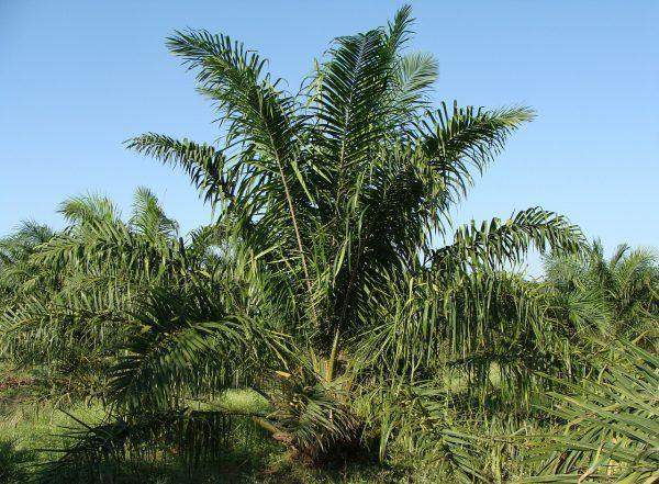 Waarom ik kies voor palm olie: palm oil facts.